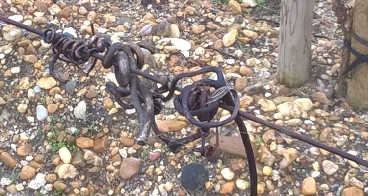 vrilles vigne - Taille et tirage des bois - Vins de Bordeaux