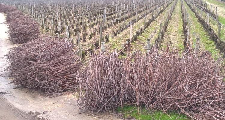 balade à bordeaux dans les vignes. Période de la taille