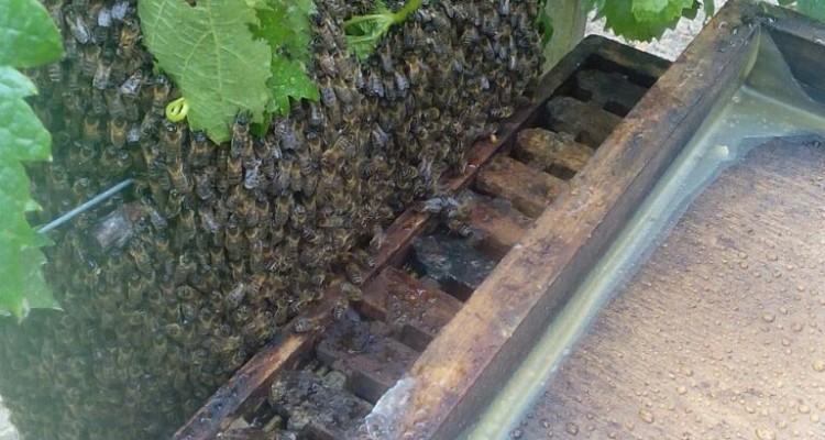 récolte d'un essaim d'abeilles dans les vignes