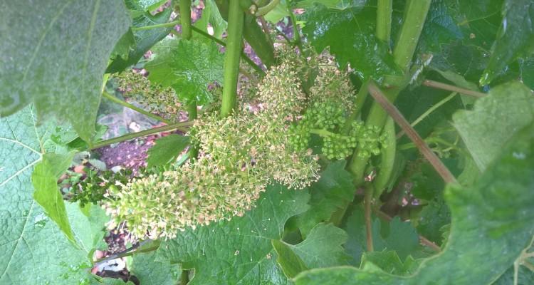 Floraison du cabernet sauvignon