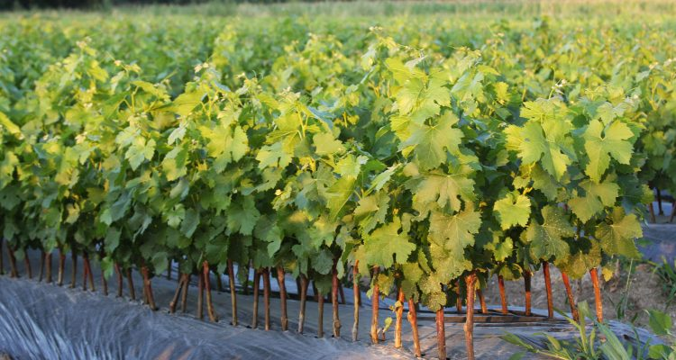 pépinière viticole château Bardins