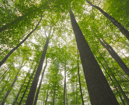 photo d'une forêt de chênes du Tronçais