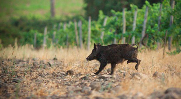 image d'un sanglier qui court dans les vignes