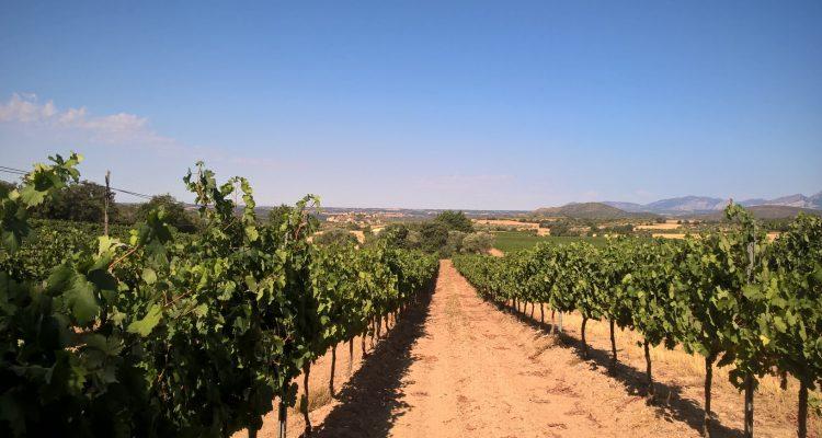 photo de vignes de grenache