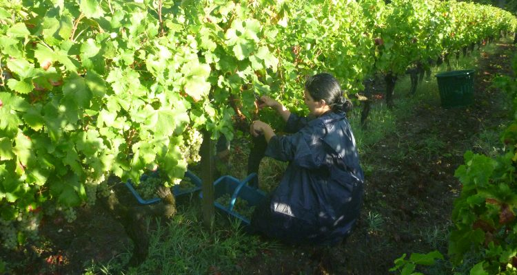 image of a lady cutting grapes in bordeaux vineyard