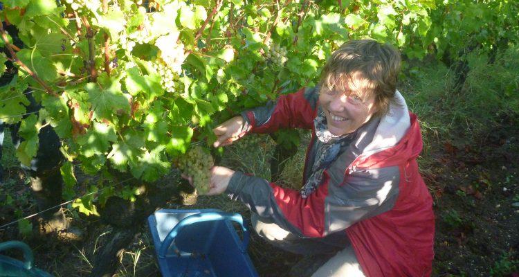 Photo de la propriétaire du Château en train de vendanger les raisins blancs du Château Bardins