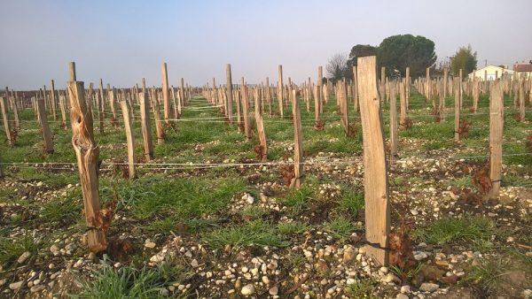 planter une vigne a vin