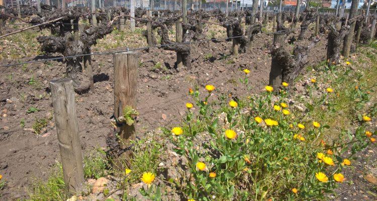 image de vignes au printemps