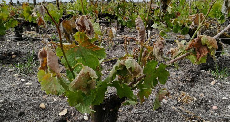 photo pied de vigne touché par le gel
