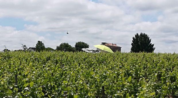 parasols dans les vignes