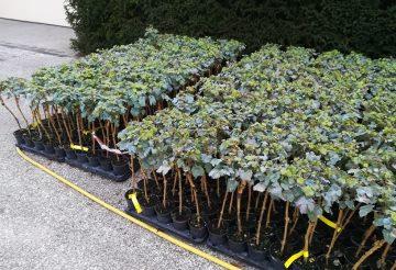 photo de plants de vigne