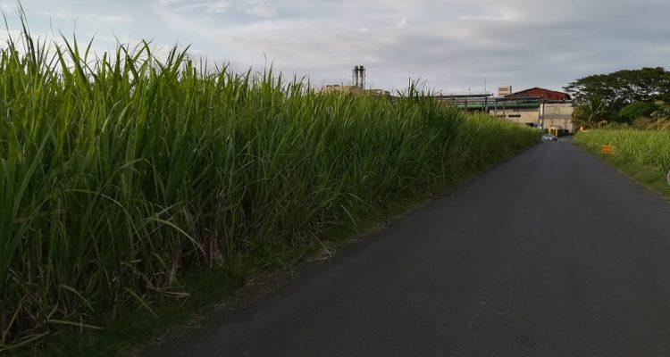 image champ de canne à sucre