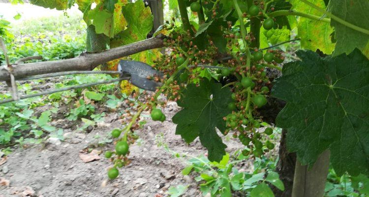 image de grappe de raisin avec coulure