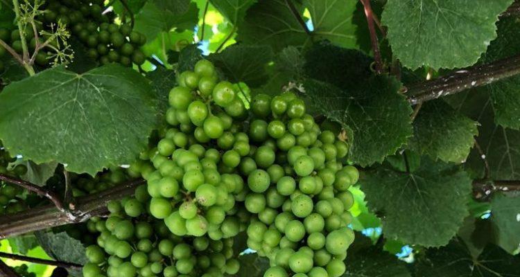 image de vigne albarino
