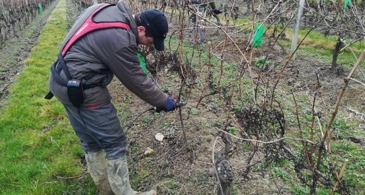 tailleurs dans les vignes