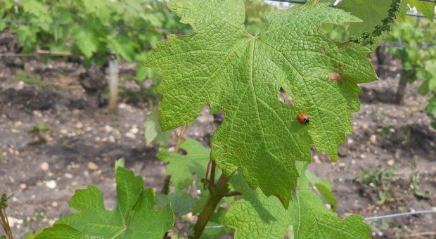 coccinelle sur feuille de vigne